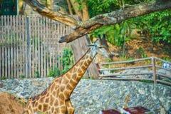 Esta imagem é sobre o girafa tailandês, Banguecoque Tailândia Foto de Stock Royalty Free