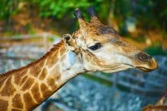 Esta imagem é sobre o girafa tailandês, Banguecoque Tailândia Imagens de Stock