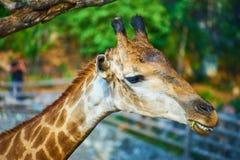 Esta imagem é sobre o girafa tailandês, Banguecoque Tailândia Fotografia de Stock Royalty Free