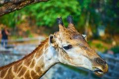 Esta imagem é sobre o girafa tailandês, Banguecoque Tailândia Fotos de Stock