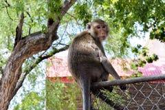 Esta imagen está sobre el mono tailandés, Tailandia Foto de archivo