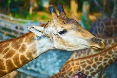 Esta imagen está sobre la jirafa tailandesa, Bangkok Tailandia Fotografía de archivo libre de regalías