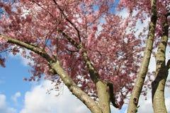 Esta??o de floresc?ncia Rosa de floresc?ncia Sakura And Sunny fotos de stock