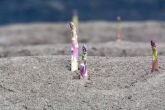 Esta??o nova da colheita no aspargo vegetal dos campos do aspargo, o branco e o roxo que cresce descoberto na explora??o agr?cola fotos de stock royalty free