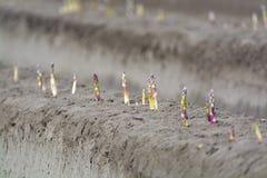 Esta??o nova da colheita no aspargo vegetal dos campos do aspargo, o branco e o roxo que cresce descoberto na explora??o agr?cola foto de stock