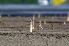 Esta??o nova da colheita no aspargo vegetal dos campos do aspargo, o branco e o roxo que cresce descoberto na explora??o agr?cola fotografia de stock