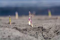 Esta??o nova da colheita no aspargo vegetal dos campos do aspargo, o branco e o roxo que cresce descoberto na explora??o agr?cola fotografia de stock royalty free