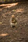 Esta pequeña ardilla marrón está comiendo Foto de archivo libre de regalías