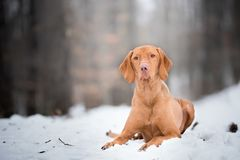 Estabelecendo o retrato do cão do vizsla na neve Foto de Stock Royalty Free