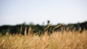Estabelecer o tiro do campo amarelo natural exterior moveu-se pelo vento no dia de verão ensolarado vídeos de arquivo