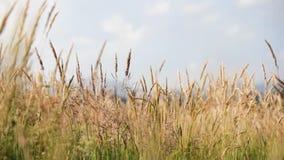 Estabelecer o tiro do campo amarelo natural exterior moveu-se pelo vento no dia de verão ensolarado video estoque
