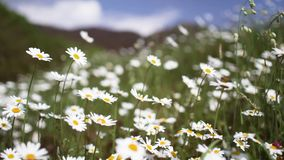 Estabelecer o tiro do campo natural exterior do verde da margarida moveu-se pelo vento com a abelha do voo no dia de verão ensola filme