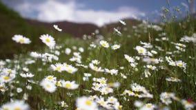 Estabelecer o tiro do campo natural exterior do verde da margarida moveu-se pelo vento no dia de verão ensolarado com mudança da  filme