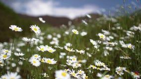 Estabelecer o tiro do campo natural exterior do verde da margarida moveu-se pelo vento no dia de verão ensolarado com mudança da  vídeos de arquivo
