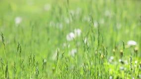 Estabelecer o tiro do campo verde natural exterior com dentes-de-leão moveu-se pelo vento no dia de verão ensolarado com cremalhe video estoque