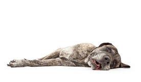 Estabelecimento Brindle Tired do cão do Mastiff fotos de stock
