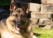 Estabelecimento de Dog Canine Pet do pastor alemão do puro-sangue fotografia de stock