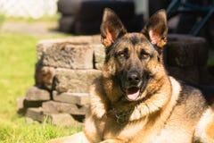 Estabelecimento de Dog Canine Pet do pastor alemão do puro-sangue imagem de stock royalty free