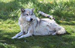 Estabelecimento do lobo Foto de Stock Royalty Free