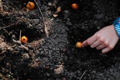 Establecimiento de las manos del ni?o cebollas en las camas del jard?n Trabajo que cultiva un huerto en tiempo de primavera imagen de archivo
