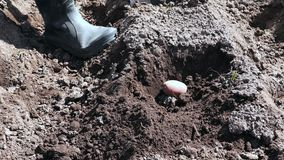 Establecimiento de las patatas en el jardín con las manos metrajes