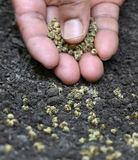 Establecimiento de las semillas de la espinaca Foto de archivo libre de regalías