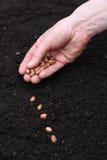 Establecimiento de las semillas en suelo Imágenes de archivo libres de regalías