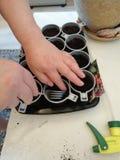 Establecimiento de las semillas de la petunia en potes imagen de archivo