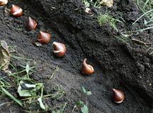 Establecimiento de los bulbos del tulipán en el suelo Imagen de archivo libre de regalías