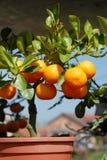 Establecimiento de los mandarines Foto de archivo libre de regalías