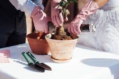 Establecimiento de poco árbol en un pequeño pote Imagen de archivo