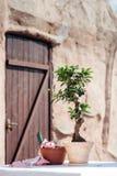 Establecimiento de poco árbol en un pequeño pote Fotos de archivo libres de regalías