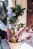 Establecimiento de poco árbol en un pequeño pote Imagen de archivo libre de regalías