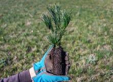 Establecimiento de un árbol Primer de las manos que sostienen un almácigo imperecedero del pino que se plantará en el suelo Imagen de archivo libre de regalías