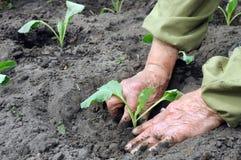 Establecimiento de una planta de semillero de la col Imagenes de archivo