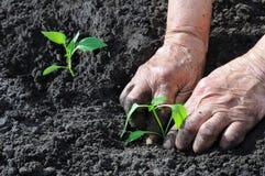 Establecimiento de una planta de semillero de la pimienta Imágenes de archivo libres de regalías