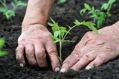 Establecimiento de una planta de semillero de los tomates Foto de archivo