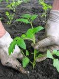Establecimiento de una planta de semillero de los tomates Imágenes de archivo libres de regalías