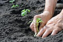Establecimiento de una planta de semillero de los tomates Fotos de archivo libres de regalías