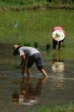 Establecimiento del arroz Fotografía de archivo