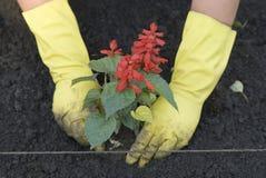 Establecimiento del brote en suelo Foto de archivo libre de regalías