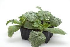 Establecimiento del calabacín verde Fotografía de archivo libre de regalías
