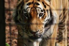 Establecimiento del paso de los tigres Fotos de archivo