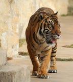 Establecimiento del paso del tigre Imágenes de archivo libres de regalías