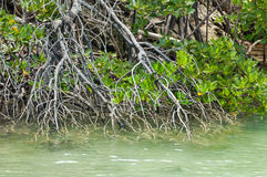 Established stand of mangrove plants Stock Photography