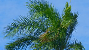 Establishing shot from a palm tree in the wind with blue sky stock video