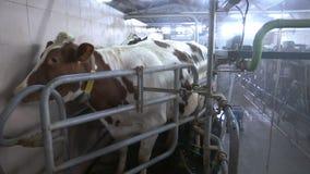 Establo del granero de lechería de la leche de vaca de la granja metrajes