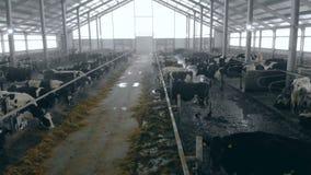 Establo espacioso con el ganado que come el forraje almacen de video