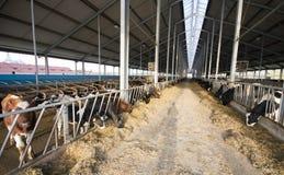 Establo moderno de la vaca Fotografía de archivo