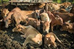 Establos de la vaca Imagen de archivo libre de regalías
